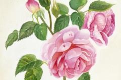 rose-sonia-rykiel